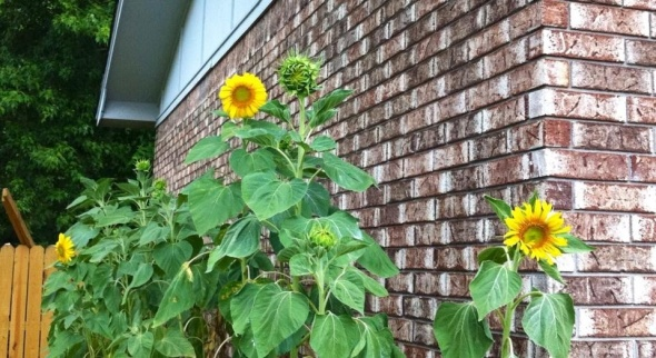 Hayden's family's sunflower garden!  Beautiful!