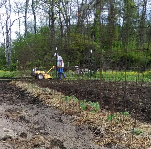 Tomato plants mulched with straw.