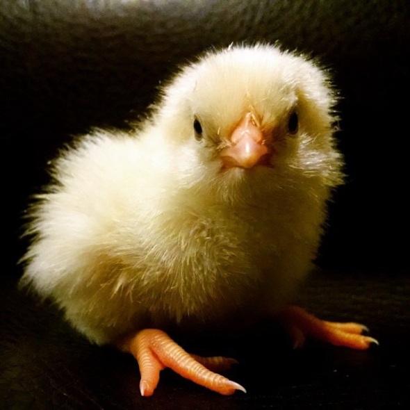 1st Baby Chick - JimTom